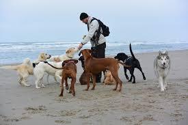 Man die allerlei honden aan het uitlaten is op het strand